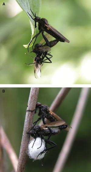 Спаривание мух Rhamphomyia sulcata: сценным подарком (вверху) и с «символическим» (внизу)