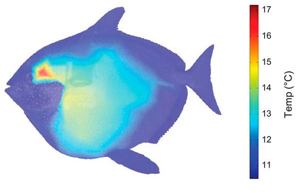 Рис. 2. Температурная карта одной из вытащенных на палубу рыб