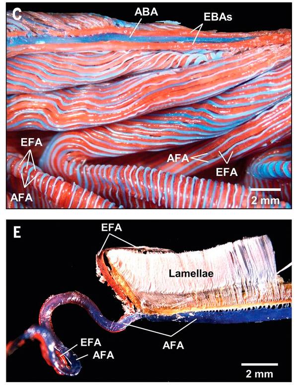 Рис. 4. Расположение сосудов в жаберных элементах солнечной рыбы