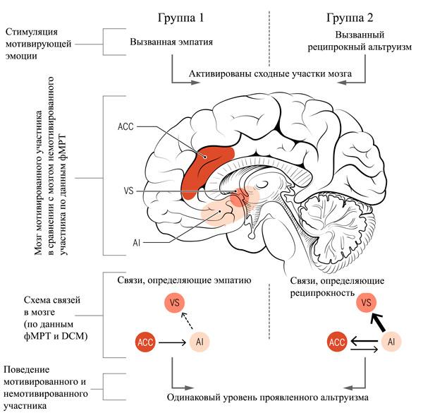 Рис. 2. Схема возбуждаемых участков мозга при оценке альтруистического поведения