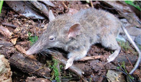 Paucidentomys vermidax - новый вид землеройковой крысы с острова Cулавеси