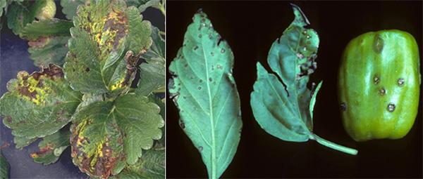 Гамма-протеобактерии рода Xanthomonas вызывают заболевания как минимум у 124видов однодольных и 268видов двудольных растений, втом числе у земляники (слева) и перца (справа). Фото с сайтов strawberry.ifas.ufl.edu и www.umassvegetable.org