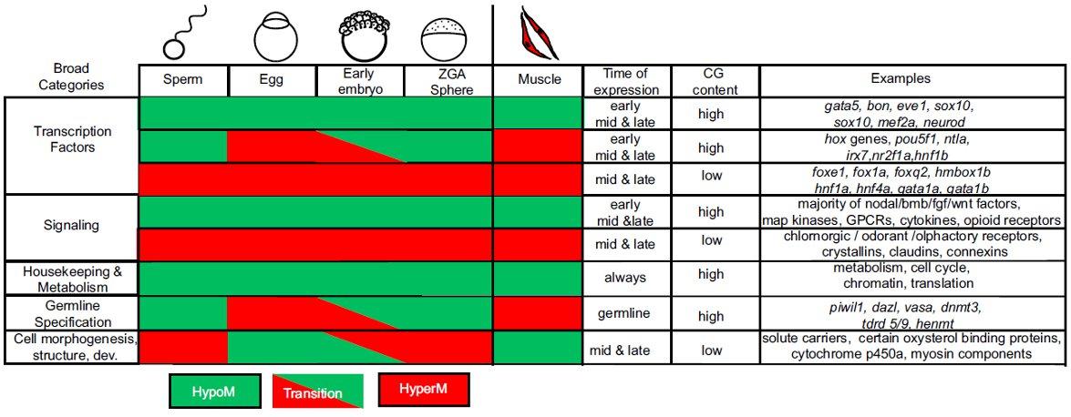 Сравнительная характеристика яйцеклетки и сперматозоида