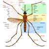 Анатомия комара. Изображение с сайта en.wikipedia.org