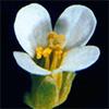 Нормальный цветок резуховидки «дикого типа»