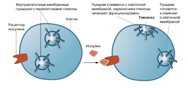 Рис. 1. Инсулин регулирует поступление глюкозы в клетки, имеющие инсулиновые рецепторы. В этом процессе участвуют специальные белки-переносчики
