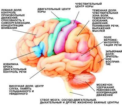 Функциональные зоны мозга. При нарушении кровоснабжения определенных участков мозга у больных возникают соответствующие неврологические симптомы (изображение: «Наука и жизнь»)
