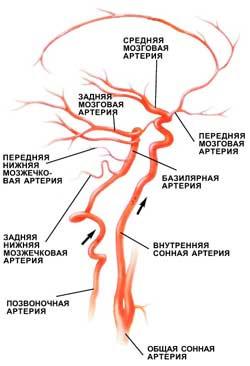 Общая схема кровоснабжения мозга. Кровь поступает в мозг по четырем крупным магистральным артериям: двум внутренним сонным и двум позвоночным. В основании ствола головного мозга позвоночные артерии сливаются в одну, базилярную. В головном мозге внутренняя сонная артерия делится на две главные ветви: переднюю мозговую артерию, по которой кровь поступает в передние отделы лобных долей, и среднюю мозговую артерию, снабжающую часть лобной, височной и теменной долей. Позвоночные и базилярная артерии осуществляют кровоснабжение ствола мозга и мозжечка, а задние мозговые артерии— затылочных долей мозга (изображение: «Наука и жизнь»)