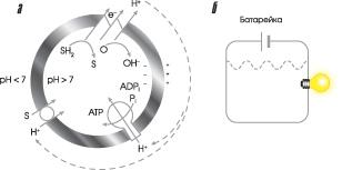 Хемиосмотическое сопряжение энергии. (а) Общий принцип. (б) Аналогичная электрическая цепь (изображение: www.sciam.ru)