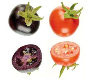 Рис. 9. Томаты с повышенным содержанием антоцианов в плодах, полученные методом генетической инженерии