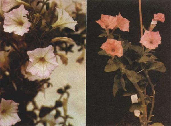 Рис. 10. Слева мутантная линия петунии с бледно-розовой окраской венчика из-за присутствия следовых количеств антоцианов — производных цианидина и дельфинидина, справа — генетически модифицированное растение петунии, накапливающее антоцианы — производные пеларгонидина («Nature», 1987, 330, 677–678)