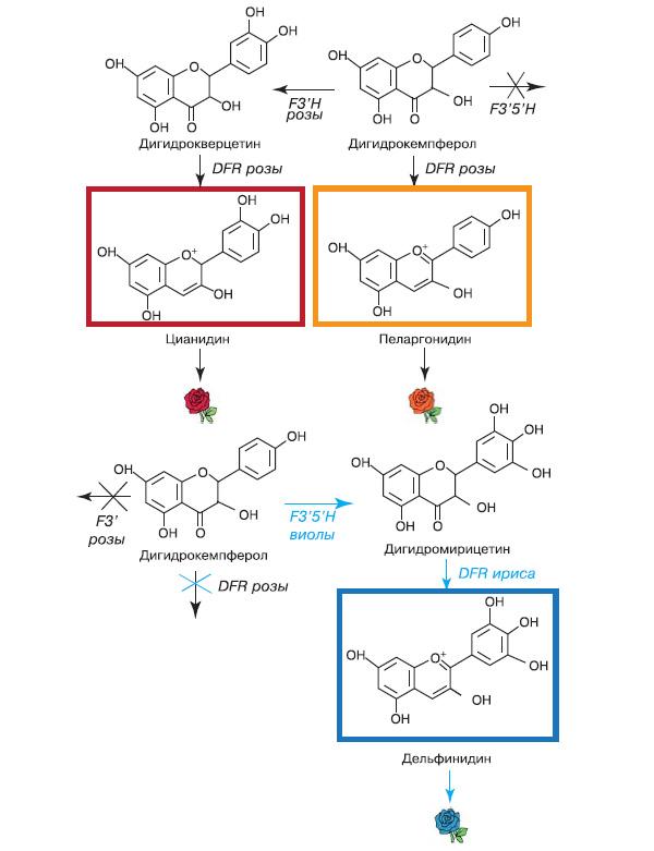 Рис. 11. Схема создания голубой розы. У обычных роз не образуется дигидромирицетин, поэтому в их окраске не бывает оттенков синего. У голубой розы, напротив, отключено образование красных и оранжевых пигментов