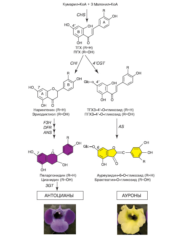 Рис. 12. Схема биосинтеза антоцианов и ауронов. Снизу цветки торении обычной, накапливающие антоцианы (слева), и трансгенной, накапливающие ауроны (справа). Обозначения: ТГХ — тетрагидроксихалкон, ПГХ — пентагидроксихалкон