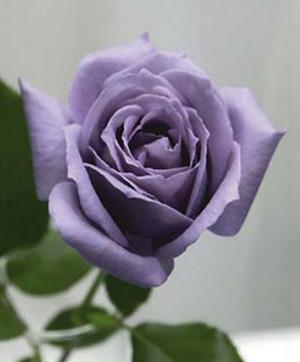 Рис. 2. Первая в мире голубая роза, созданная австралийскими учеными из компании «Флориген» при поддержке японского холдинга «Сантори»
