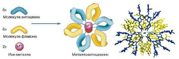 Рис. 6. Схема образования металлоантоцианина из шести молекул антоциана, флавона и двух ионов металла. Справа приведена пространственная структура протоцианина, выделенного из лепестков василька (из: «Natural Products Reports», 2009, 26, 884–915)