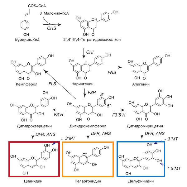 Рис. 7. Биосинтез антоцианидинов: цианидина, пеларгонидина, дельфинидина. Антоцианидины далее подвергаются реакциям модификации — гликозилированию, ацилированию, метилированию, которые осуществляют гликозилтрансферазы (GT), ацилтрансферазы (AT) и метилтрансферазы (MT). Типичная окраска, которую имеют антоцианы, образующиеся из приведенных антоцианидинов, представлена на рисунке, но она зависит от многих факторов: pH, копигментации с бесцветными флавоноидами, комплексами с ионами тяжелых металлов. Заметьте, что метилированию В-кольца (синие прерывистые стрелки) подвергаются антоцианы, а не антоцианидины. Аббревиатуры: халконсинтаза (CHS); халконфлаванонизомераза (CHI); дигидрофлавонол 4-редуктаза (DFR); флаванон-3-гидроксилаза (F3H); флавоноид-3\&\#39\;-гидроксилаза (F3\&\#39\;H); флавоноид-3\&\#39\;,5\&\#39\;-гидроксилаза (F3\&\#39\;5\&\#39\;H); антоцианидинсинтаза (ANS); флавонсинтаза (FNS); флавонолсинтаза (FLS) (по: «International Journal of Molecular Sciences», 2009, 10, 5352)