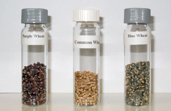 Рис. 8. Пурпурное (слева), голубое (справа) и неокрашенное (в центре) зерно пшеницы. «Metro News» с сайта metronews.ca