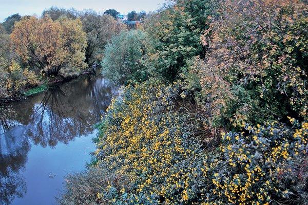 Топинамбур на берегу реки. Окрестности Твери. Фото Юлии Виноградовой.