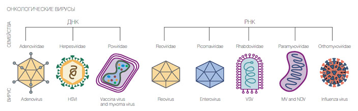 Известные на сегодня семейства вирусов, убивающих раковые клетки («Коммерсантъ Наука» №6, сентябрь 2017)