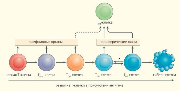Схема перехода потомков активированных Т-лимфоцитов между популяциями («Природа» №2, 2016)