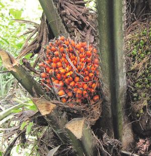 Плоды масличной пальмы («Википедия») («ТрВ» №16(260), 14.08.2018)