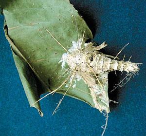 Прикрепившаяся к листу бабочка-совка с выросшими на ее теле конидиями гриба Cordyceps tuberculata («Природа» №6, 2014)