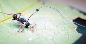 Мертвый муравей на нижней стороне листа, зараженный грибом Ophiocordyceps unilateralis («Природа» №6, 2014)