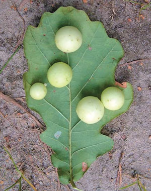 Шарообразные галлы на листьях дуба («Природа» №6, 2014)