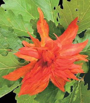 Изысканные разрастания ткани отдельных листьев дуба — результат работы насекомых («Природа» №6, 2014)