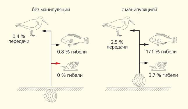 Схема возможной гибели животных-хозяев трематоды и передачи паразита в трехчленном паразитическом цикле («Природа» №6, 2014)
