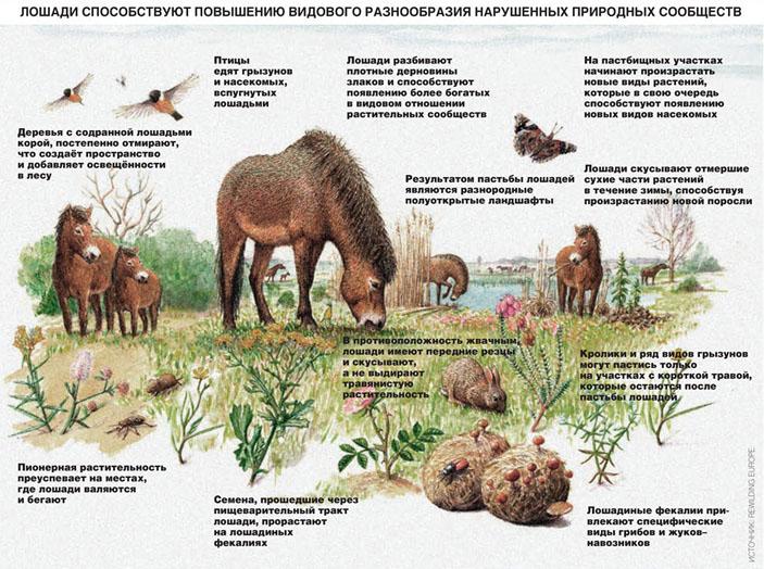 Лошади способствую повышению разнообразия нарушенных природных сообществ («Коммерсантъ Наука» №63(4), декабрь 2018)