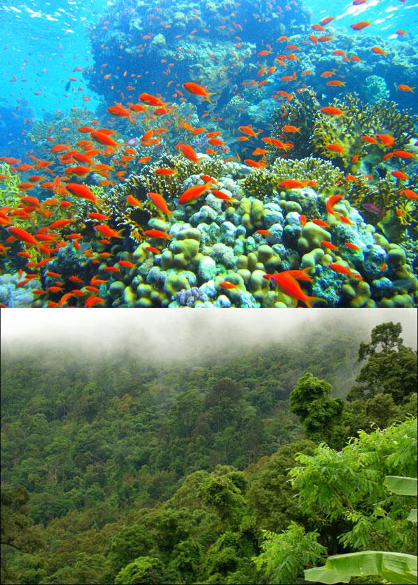 Хотя коралловые рифы и называют «тропическими лесами» океана, они всё же уступают богатством видами. Вверху— коралловые рифы в Красном море. Внизу— тропический лес на острове Самуи в Таиланде. Фото с сайтов commons.wikimedia.org (автор Михаил Рогов) и www.kohsamui.org