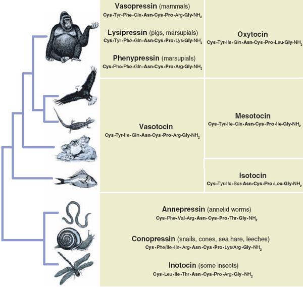 У самых разных представителей животного царства взаимоотношения ссородичами регулируются одними и теми же веществами— нейропептидами окситоцином, вазопрессином и их гомологами. Рис. из обсуждаемой статьи Donaldson& Young