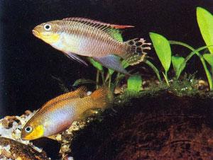Pelvicachromis taeniatus— популярная аквариумная рыбка, известная как «попугай», без труда узнает близких родственников, даже если никогда их раньше не видела, и считает их наилучшими брачными партнерами (фото с сайта www.akvariumas.lt)