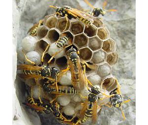 Бумажные осы на гнезде