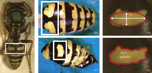 Фотографии самца бумажной осы, его брюшка сверху и сбоку