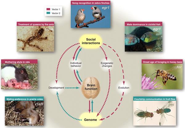 Гены, мозг и социальное поведение связаны сложными отношениями. Эти отношения действуют на трех временных масштабах: (i)на уровне физиологии— влияя на активность мозга (сплошные линии), (ii)на уровне развития организма— через экспрессию генов вмозге и эпигенетические модификации (линия из точек), (iii)на эволюционном уровне— через естественный отбор (пунктирная линия). Направление влияния: розовые стрелки— от социальных отношений кизменению функций мозга и поведения, стрелки цвета морской волны— от генов к социальному поведению. Изображенные животные (сверху по часовой стрелке): зебровая амадина (T.guttata), цихлида (A.burtoni), медоносная пчела (A.mellifera), дрозофила (D.melanogaster), прерийная полёвка (M.ochrogaster), крыса (R.norvegicus), огненный муравей (S.invicta). Курсивом на фотографиях даны названия генов, связанных стем или иным видом социального взаимодействия. Изображение из обсуждаемой статьи Robinsonetal.