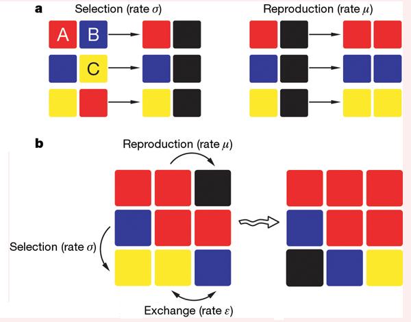 Рис. 1. Схема взаимодействия видов на поверхности субстрата. Поверхность представлена ячейками, каждая из которых может быть занята только одним из трёх видов (видA показан красным цветом, видB— синим, а видC— желтым). Впроцессе избирательного уничтожения (selection) один вид способен очистить пространство от другого вида (образовавшиеся свободные участки показаны черным). ВидA способен уничтожить видB; B—C; а C—A (панельa, левый рисунок). Помимо уничтожения, есть процесс размножения (reproduction), ведущий к заселению соседней ячейки, и процесс обмена (exchange), входе которого виды меняются местами проживания (ячейками) или занимают свободную ячейку (панельa, правый рисунок). Интенсивность подобного «обмена»— это и есть введенная вмодель «мобильность». Все три процесса характеризуются определенными скоростями— параметрами, которые задаются вмодели. Панельb как раз иллюстрирует пример протекания трех процессов на решетке3x3. Рис. из обсуждаемой статьи в Nature