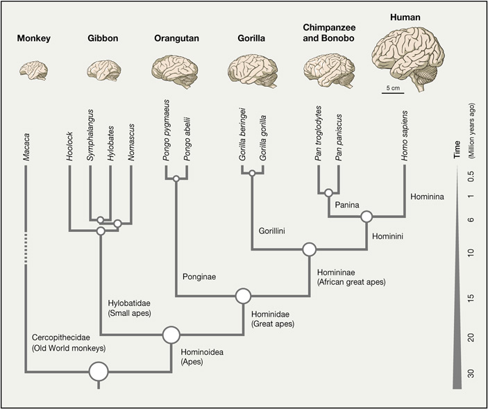 Рис. 1. Мозг человека резко отличается от мозга других обезьян по размеру, но не по анатомии