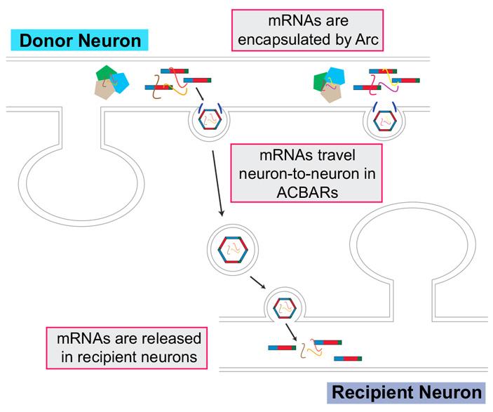 Общая схема передачи мРНК гена Arc между нейронами
