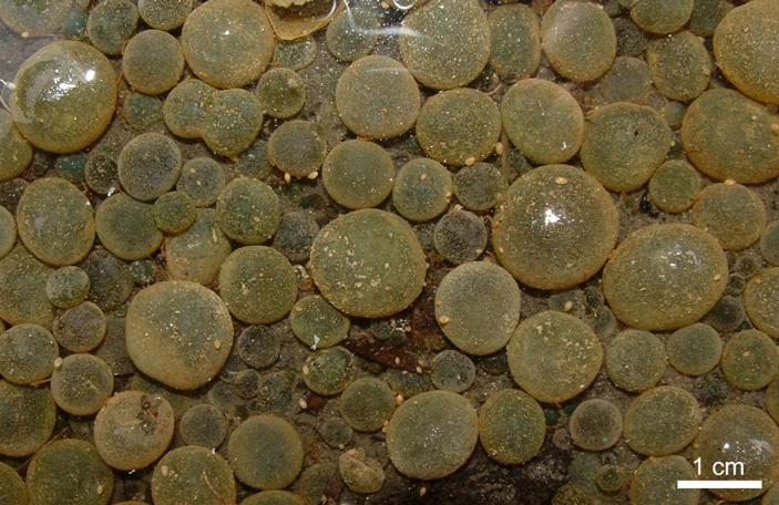 Современный аналог эдиакарских Beltanelliformis — сферические колонии пресноводных цианобактерий Nostoc communis