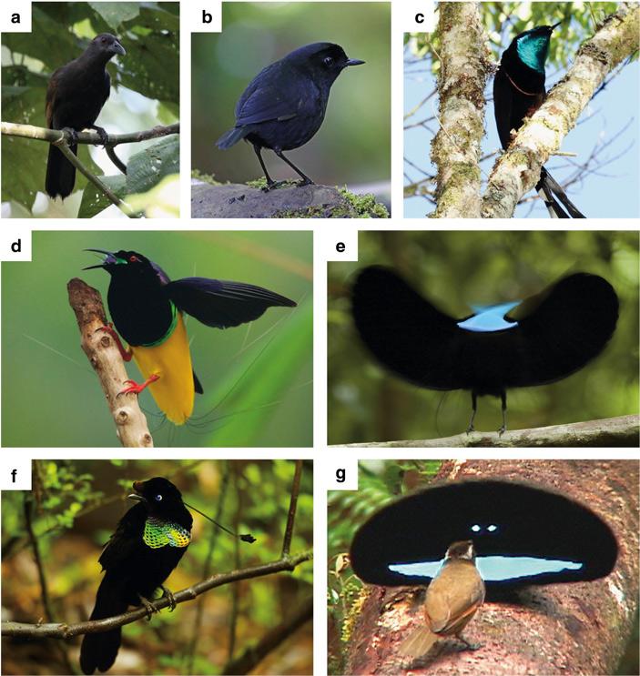 Самцы райских птиц и вида из близкого семейства