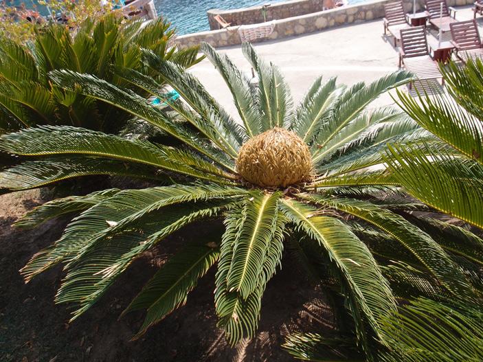 Рис. 1. Женское растение саговника поникающего (Cycas revoluta)