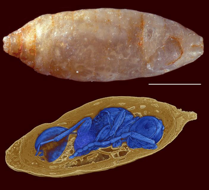 Рис. 1. Куколка мухи и визуализация осы Xenomorphia resurrecta, лежащей внутри нее