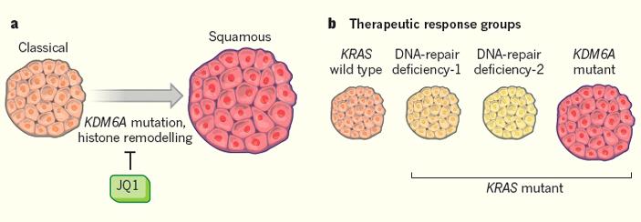 Рис. 1. Роль белка KDM6A при раке поджелудочной железы