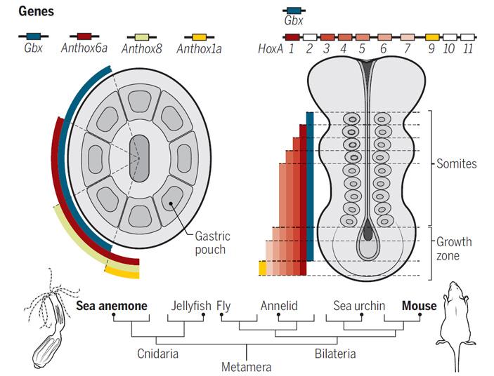 Расположение областей экспрессии Hox-генов у актинии